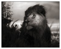 Lion in Shaft of Light, Maasai Mara, 2012