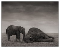 The Two Elephants, Amboseli 2012