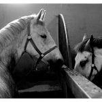 Today's pictures – Lipizzan